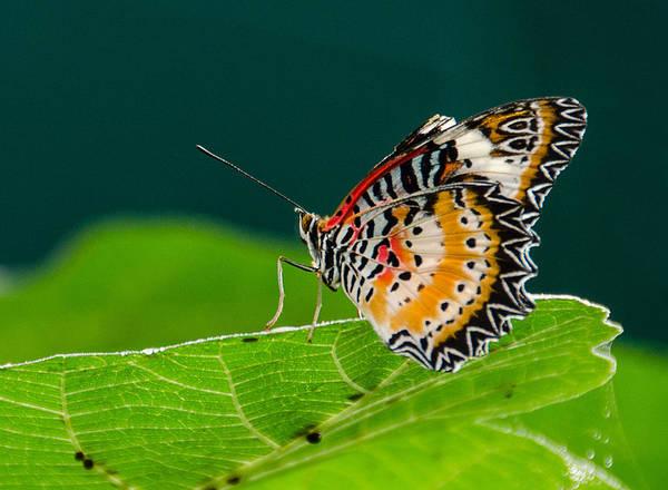 Photograph - Monarch by Jennifer Kano