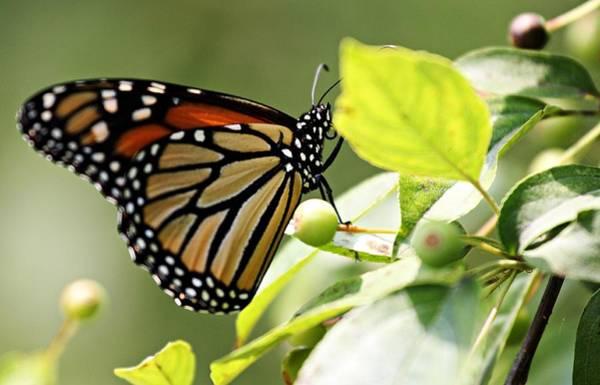 Photograph - Monarch by Jp Grace
