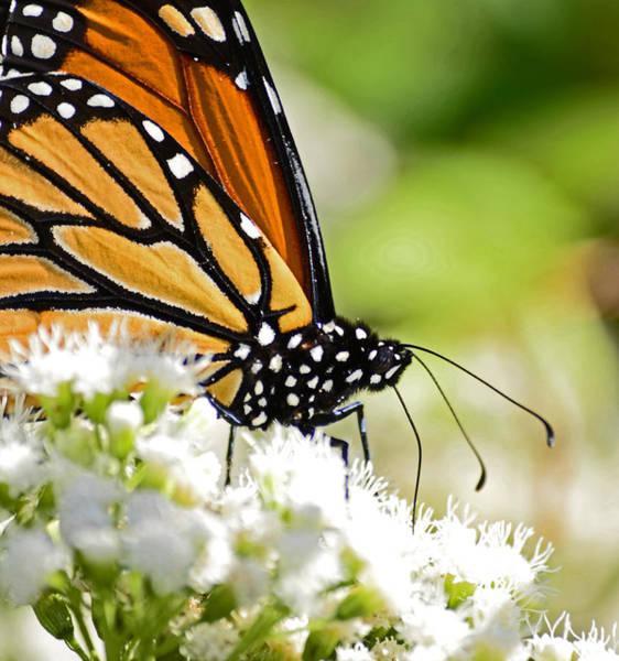 Photograph - Monarch Moment by Lori Tambakis