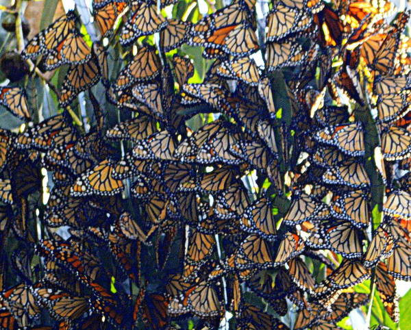 Photograph - Monarch Mosaic by AJ  Schibig