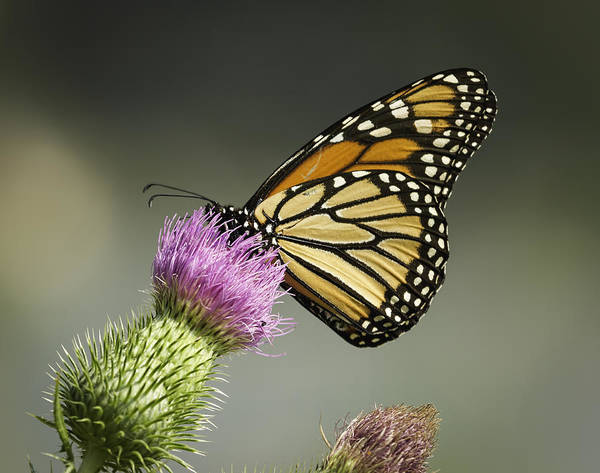Wall Art - Photograph - Monarch Of The Wild by Thomas Young