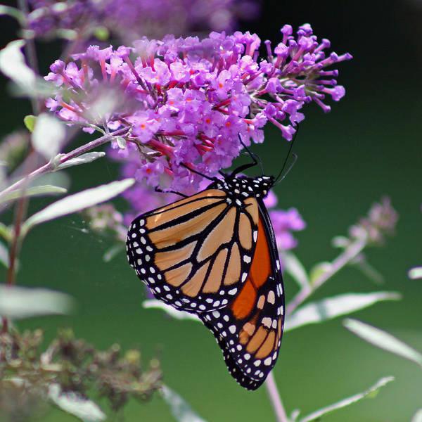 Photograph - Monarch On Butterfly Bush by Karen Adams