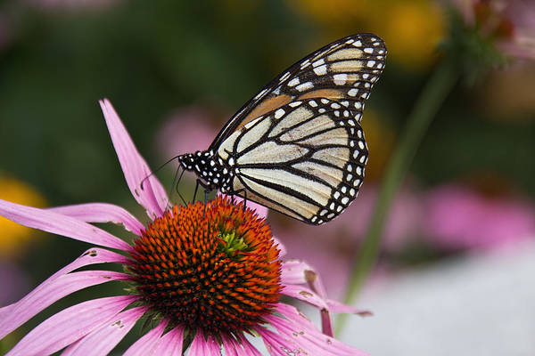 Photograph - Monarch On Coneflower by Jemmy Archer
