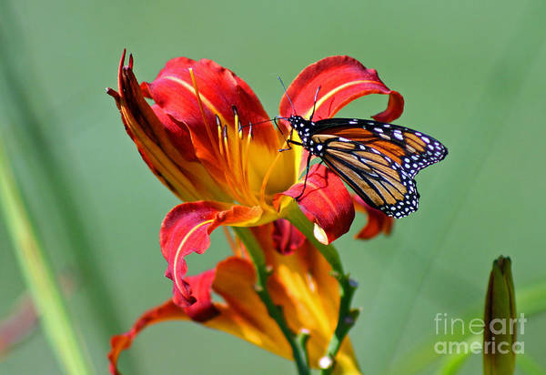 Photograph - Monarch On Daylily by Karen Adams