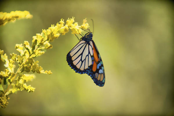 Photograph - Monarch On Goldenrod by Jack R Perry
