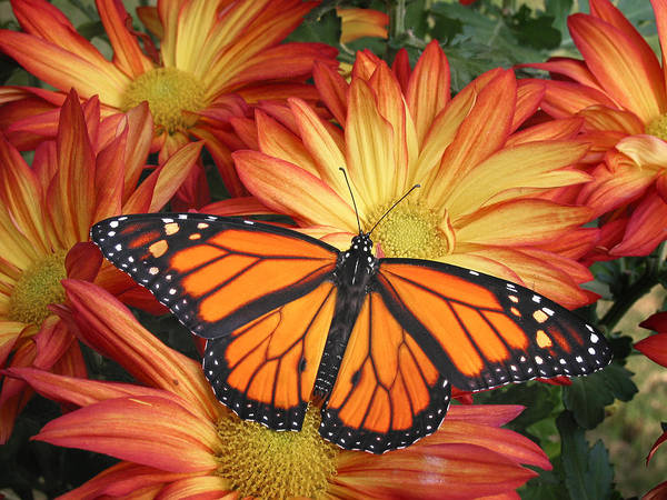 Monarch Butterflies Photograph - Monarch On His Throne by David and Carol Kelly