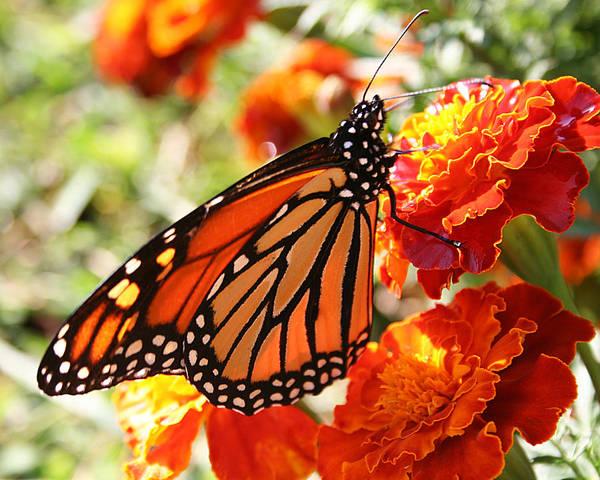 Photograph - Monarch On Marigold by William Selander