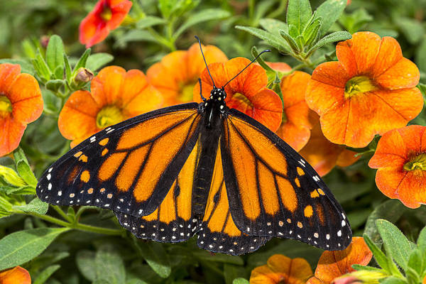 Photograph - Monarch Resting by Garry Gay