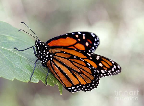 Wall Art - Photograph - Monarch Resting On A Leaf by Ruth Jolly