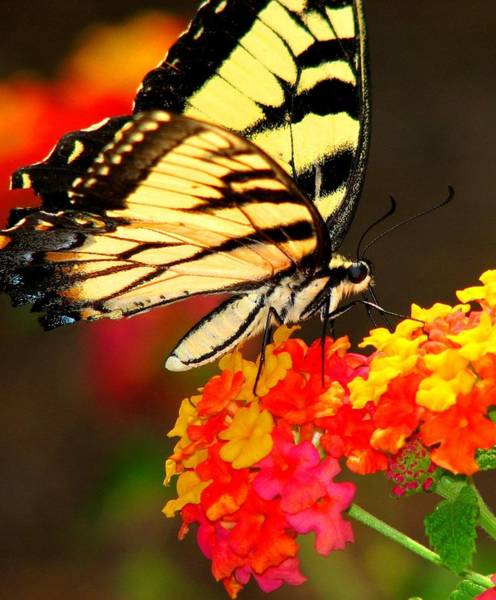 Photograph - Monarch Sips Nectar by Cleaster Cotton