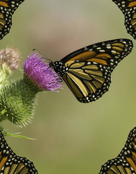 Wall Art - Photograph - Monarch With Wing Border by Thomas Young