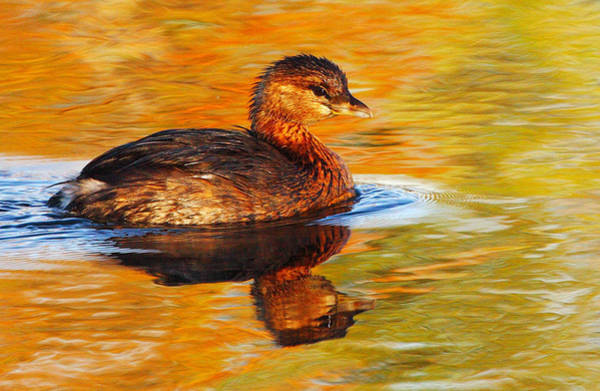 Brazos Bend State Park Wall Art - Photograph - Monet Grebe by Andrew McInnes