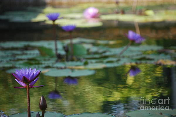 Nymphaea Lotus Photograph - Monets Waterlily Pond Number One by Heather Kirk