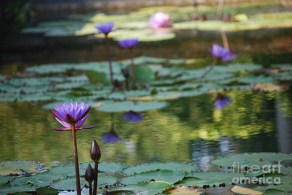 Nymphaea Lotus Photograph - Monet's Waterlily Pond Number Two by Heather Kirk