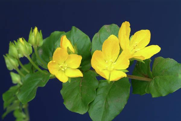 Wall Art - Photograph - Moneywort Flowers (lysimachia Nummularia) by Bildagentur-online/th Foto/science Photo Library