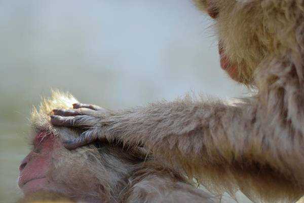 Animal Head Photograph - Monkey Head Massage by Electravk
