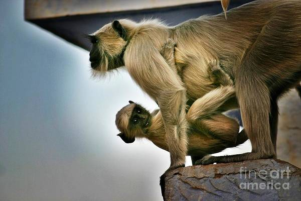 Northern India Photograph - Langur Baby Hitching A Ride In Rajasthan by Henry Kowalski
