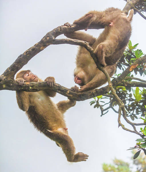 Howling Photograph - Monkey Play by Feng Wei Photography