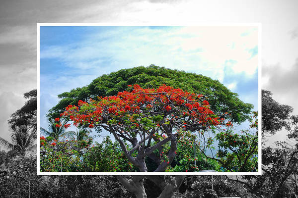 Photograph - Monkey Pod Trees - Kona Hawaii by Paulette B Wright