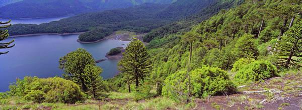 Lava Lakes Photograph - Monkey Puzzle Tree Araucaria Araucana by Danita Delimont