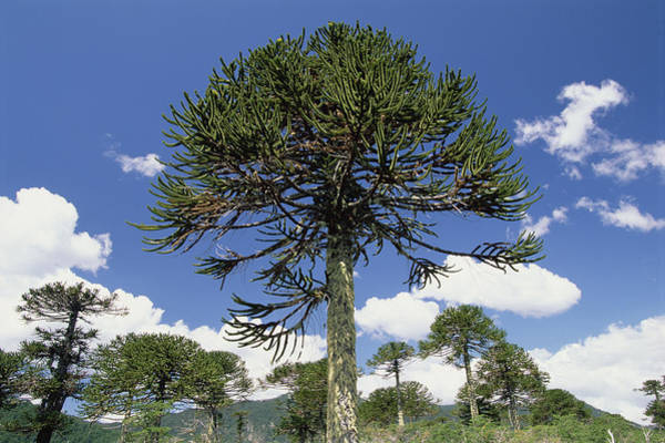 Wall Art - Photograph - Monkey Puzzle Tree Conguillio Np Chile by Gerry Ellis