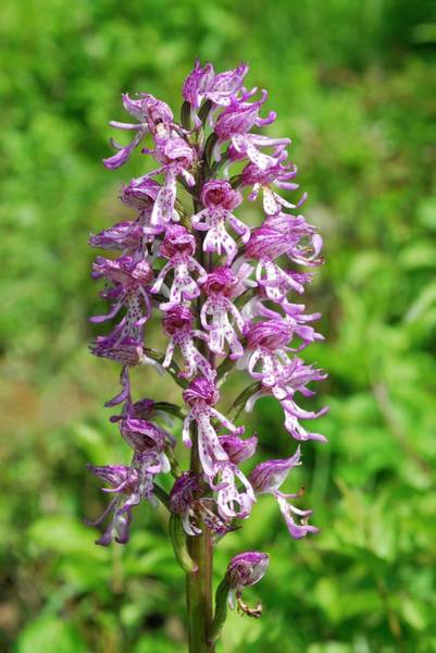 Orchis Photograph - Monkey/lady Hybrid Orchid Flowers by Jon Wilson/science Photo Library