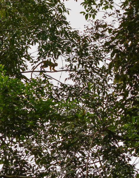 Photograph - Monkeys In The Trees by Allen Sheffield