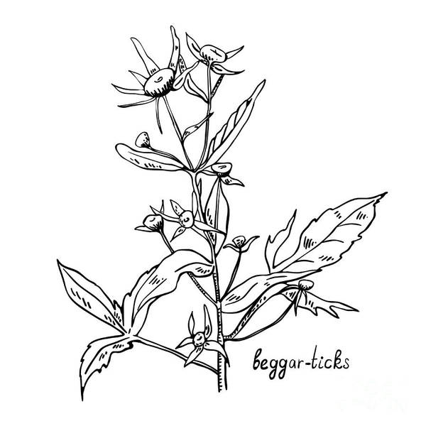 Herbal Wall Art - Digital Art - Monochrome Image Beggarticks Herb by Irinia