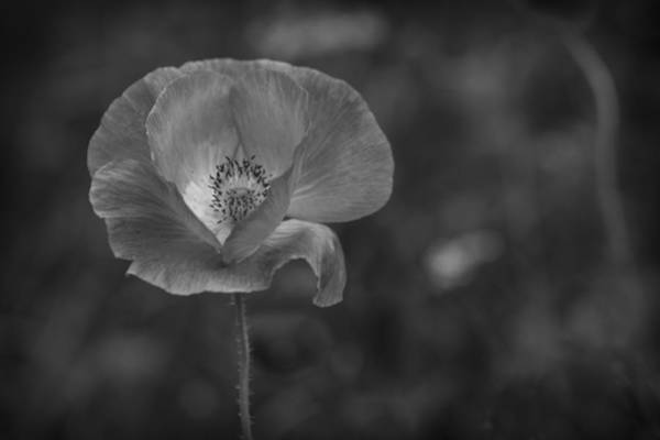 Photograph - Monochrome Poppy. by Clare Bambers