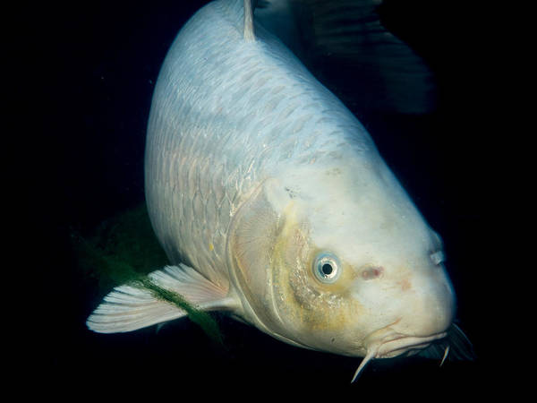 Ornamental Fish Photograph - Monster White Koi Face To Face by Jean Noren