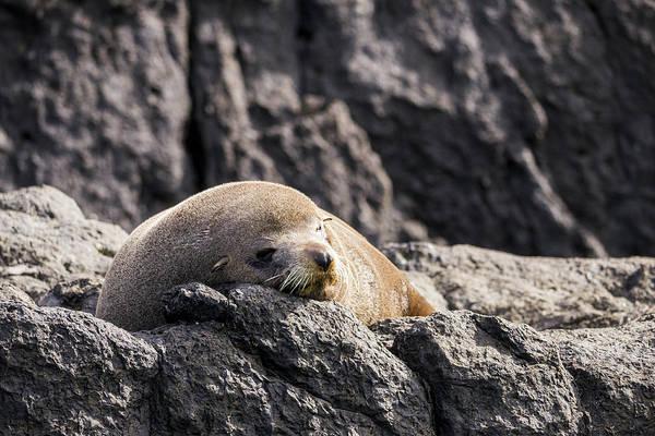 Photograph - Montague Island Seal by Steven Ralser