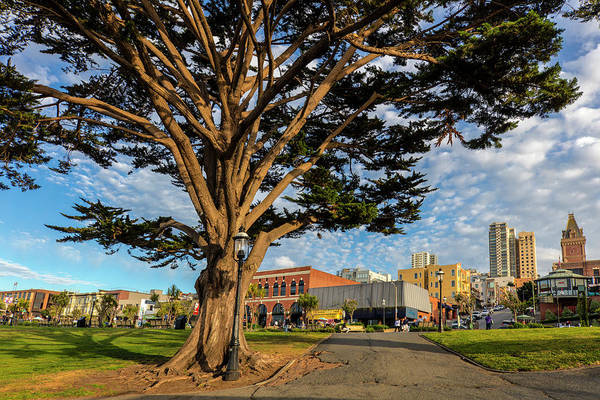 Monterey Park Photograph - Monterey Cypress Tree In Park by Chuck Haney