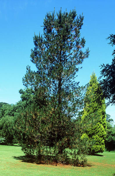 Monterey Park Photograph - Monterey Pine (pinus Radiata) by Tony Wood/science Photo Library