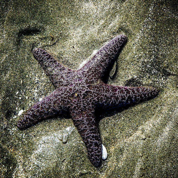 Photograph - Moody Starfish I by Roxy Hurtubise