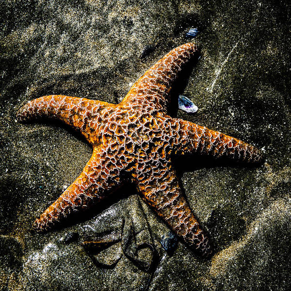 Photograph - Moody Starfish II by Roxy Hurtubise