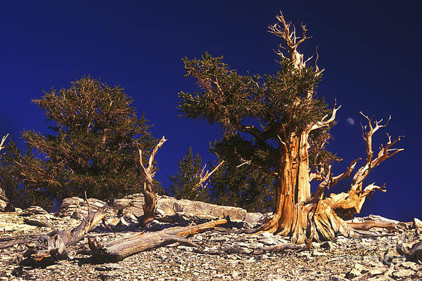Photograph - Moon And Bristlecone Pines by Paul W Faust -  Impressions of Light