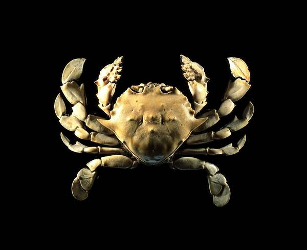 Chela Wall Art - Photograph - Moon Crab by Science Photo Library