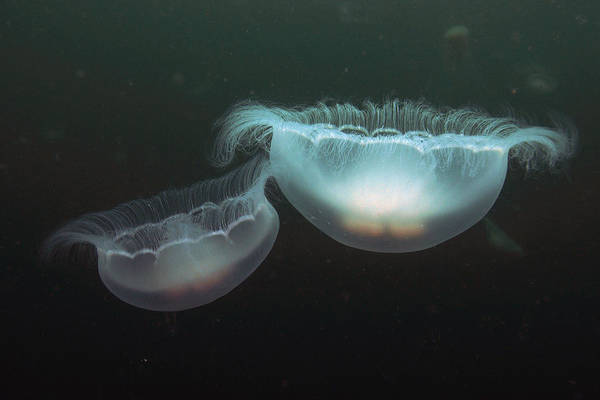 Photograph - Moon Jelly Pair Prince William Sound by Hiroya Minakuchi