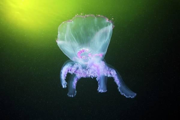 Moon Jellyfish Photograph - Moon Jellyfish Eversion by Alexander Semenov