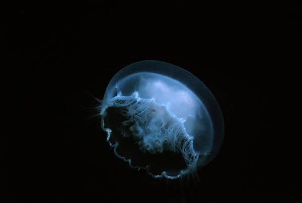 Moon Jellyfish Photograph - Moon Jellyfish by Jeff Rotman