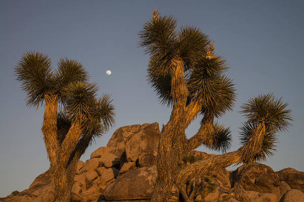 Photograph - Moon Over Joshua Tree Sunset by Lee Kirchhevel