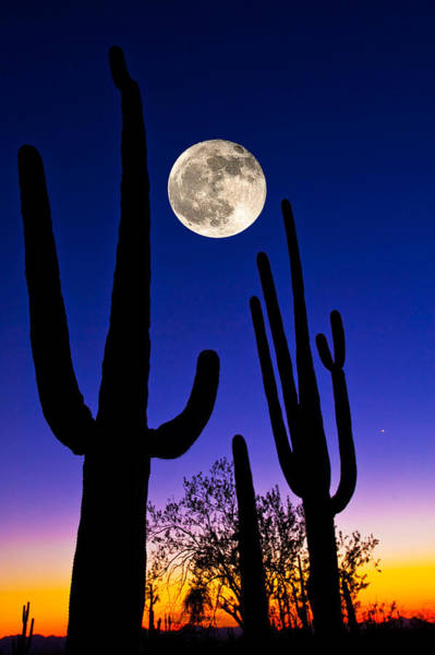 Tucson Photograph - Moon Over Saguaro Cactus Carnegiea by Panoramic Images