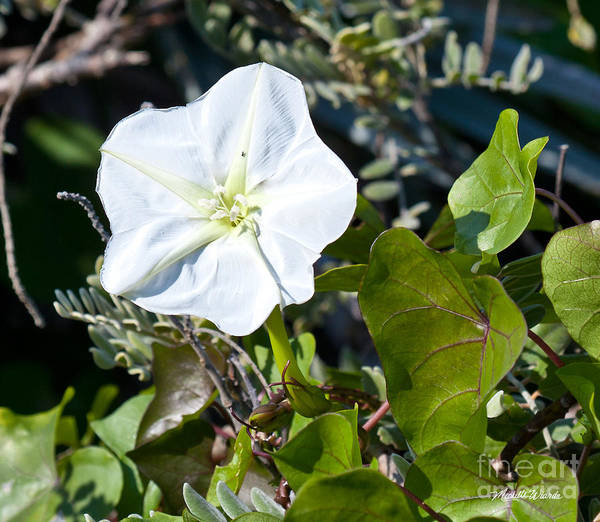 Photograph - Moonflower Night Blooming Treasure by Michelle Constantine