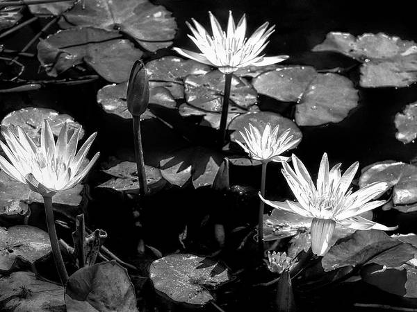 Photograph - Moonlit Lotus by Dominic Piperata