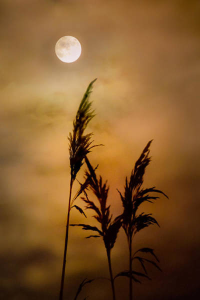 Photograph - Moonlit Stalks by Gary Heller
