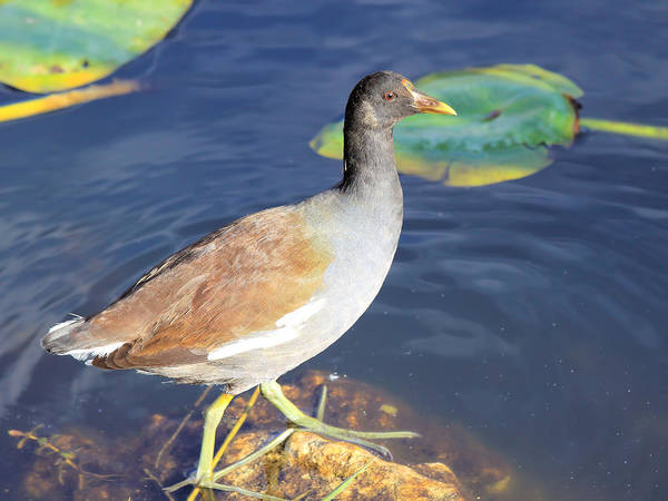 Photograph - Moorhen by Rudy Umans