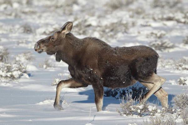 James Brown Photograph - Moose Alces Alces Calf On A Winter by James Hager / Robertharding