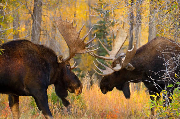 Wall Art - Photograph - Moose Battle by Aaron Whittemore