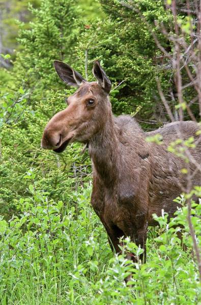 Canadian Fauna Photograph - Moose by Bob Gibbons/science Photo Library