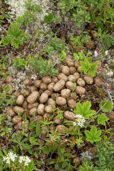 Canadian Fauna Photograph - Moose Droppings by Bob Gibbons/science Photo Library